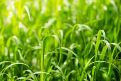 Bright green grass on summer field in sunny day. Sunlight in spring grass Stock Photos