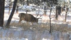 Mature Black Hills Mule Deer Buck Walks in Snowy Woods Stock Footage