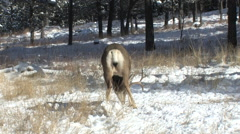 A Feeding Mule Deer Buck is Approached by a Doe Stock Footage
