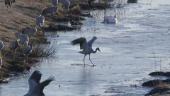 Crane bird crossing small channel with thin ice Stock Footage
