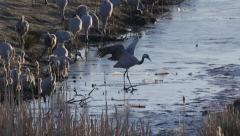 Crane bird crossing small channel with thin ice - stock footage