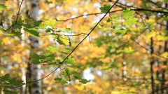 Birch forest in yellow colours in the park. Autumn, 2013 - stock footage