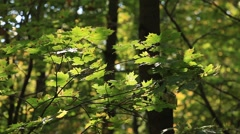The leafs of sycamore on the branch and sunlights. Autumn, 2013 Stock Footage