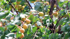 Apricot tree in wind Stock Footage
