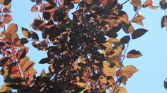 Red leafs in the wind - stock footage