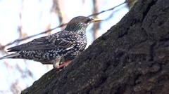 Starling on a tree - stock footage