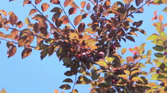 Red cherry-plum on twig Stock Footage