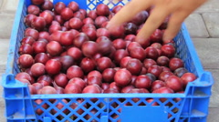 Red cherry-plum in boxes Stock Footage