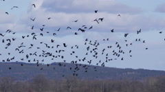 Large flock crows starling bird flying pattern Stock Footage