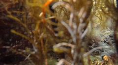 Mussels in seaweeds Stock Footage