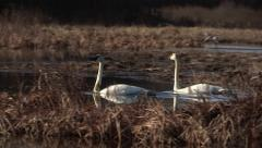 White Swans Swimming in Wetland Stock Footage