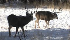 Buck in the Foreground is Intimidated by the Dominant Buck Stock Footage