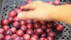 Red cherry-plum inspect Stock Footage