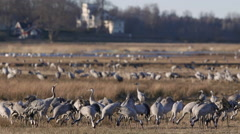 Crane birds large flock feeding on ground Stock Footage