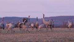 Crane birds large flock trumpeting into air Stock Footage