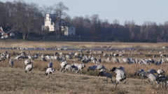 Crane birds large flock feeding on ground Stock Footage