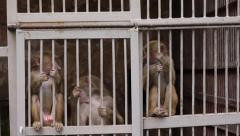 Stock Video Footage of Monkeys in Scientific Apery 3
