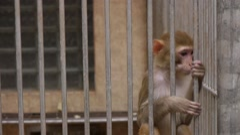 Monkeys in Scientific Apery 5 Stock Footage