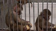 Monkeys in Scientific Apery 7 Stock Footage