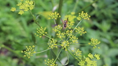 Wasp on dill flowers Stock Footage