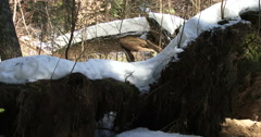 Huge tree fallen due to a winter storm Stock Footage