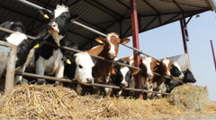 Animals Cattle Cows and  Bulls farm straw - stock footage