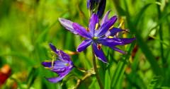 4K Medium Shot of Common Camas, Camassia Quamash on a Bright Spring Day Stock Footage