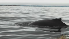 Humpback Whale diving near tourists in Arctic - stock footage