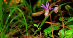 4K Macro Calypso Bulbosa Flower, Fairy Slipper, Venus's Slipper Stock Footage