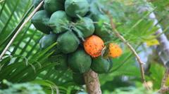 Japanese White Eye eating papaya Stock Footage