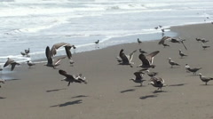 Stock Video Footage of Birds on Beach at Ocean, Flying Above Waves on Shoreline