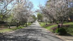 Driving Down Street Of Macon Georgia With Canopy Of Cherry Blossom Trees 04 Stock Footage