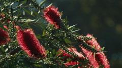 Backlit Bottlebrush Flowers Stock Footage