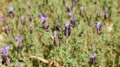 Bee On A Wild Lavender Plant Stock Footage