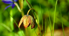 4K Macro Chocolate Lily Flower, Fritillaria Affinis in Wild Spring Grasses Stock Footage