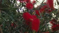 Wattlebird On A Bottlebrush Plant Stock Footage