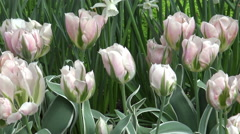 Light Pink Tulips/ 4k Flower footage Stock Footage