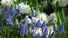 Hyacinths/ 4k Garden footage Stock Footage