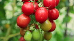 Cherry tomatoes Stock Footage