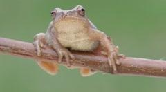 Spring Peeper (Pseudacris crucifer) - stock footage