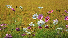 Cosmos field Stock Footage
