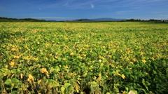 Adzuki bean field, Hokkaido, Japan Stock Footage