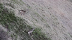 Roe deers listening at a third one screaming Stock Footage