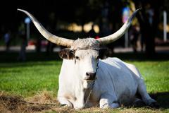Portrait of Ox Stock Photos