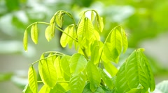 Young green leafs and wind Stock Footage