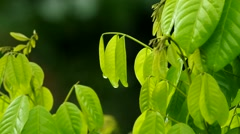 young green leafs and wind - stock footage