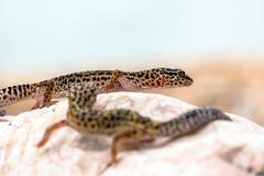 Leopard Gecko lizard on rocks - stock photo