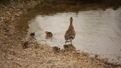 Duck and ducklings Stock Footage