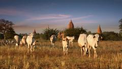Cattle herd going through amazing sunset landscape at Bagan. Myanmar Stock Footage