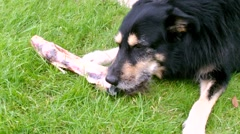 Stock Video Footage of Dog chewing a Bone